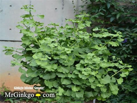 buy male ginkgo tree picture 13