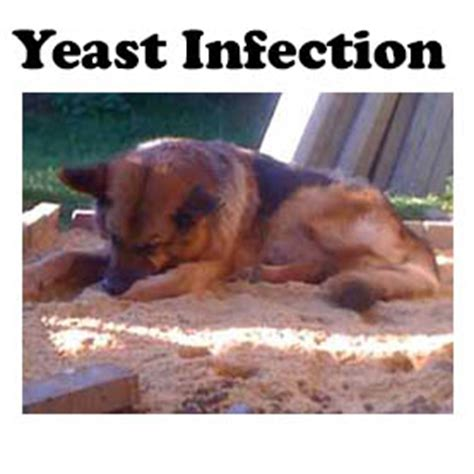 will a yeast infection make a dog sracth her self raw picture 6