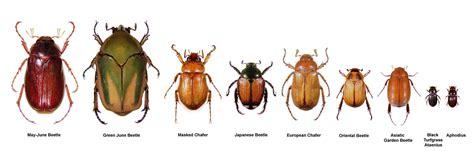 pheromones japanese beetles picture 11