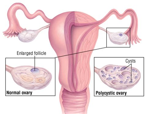 testosterone in menstrual cycle picture 7