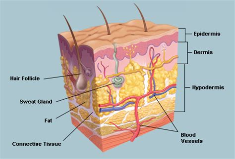 skin structure pictures picture 10