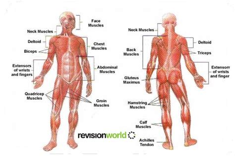 list of agonist/antagonist muscles picture 7
