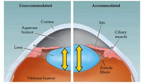 ciliary eye muscle picture 9