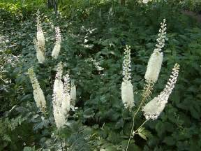 black cohosh side effects picture 3