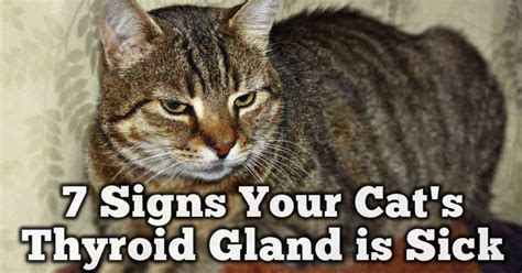 thyroid problems cats picture 1