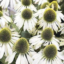 echinacea seeds picture 7