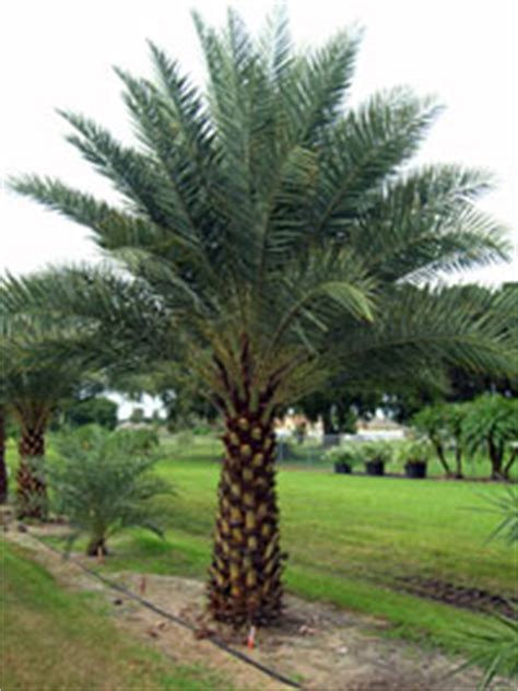 acai palm florida picture 11