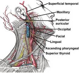 anatomy of the thyroid picture 1