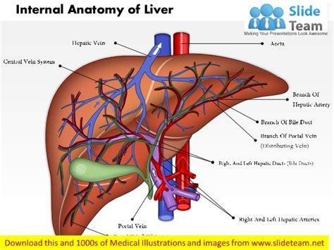 anatomy of liver picture 15