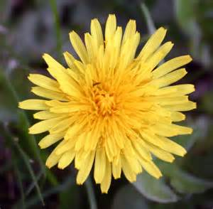 a dandelion picture 17