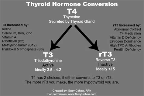 t3 armour thyroid half life picture 1