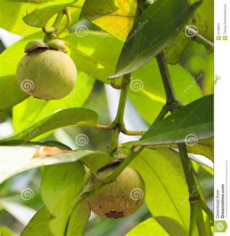 garcinia mangostana abstract inflammatory picture 1