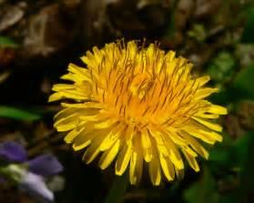scientific name for a dandelion picture 2