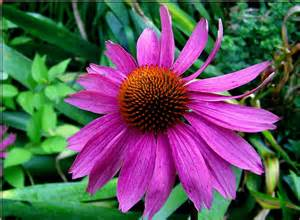 standard process sublingual echinacea picture 5