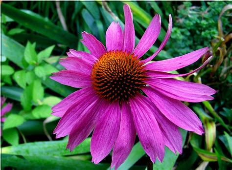 echinacea side effects picture 3