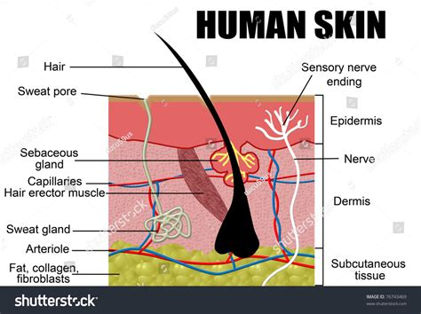free illustrations of human skin picture 11