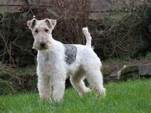 wire hair terrier picture 18