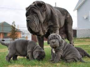how big is a mastiff penis picture 2