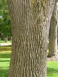 slippery elm bark picture 5