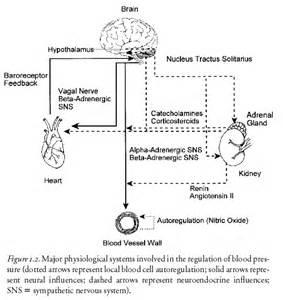 sympathetic blood flow picture 9