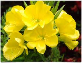 how ling will it take for evening primrose picture 10