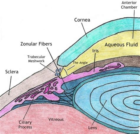 ciliary muscle picture 14