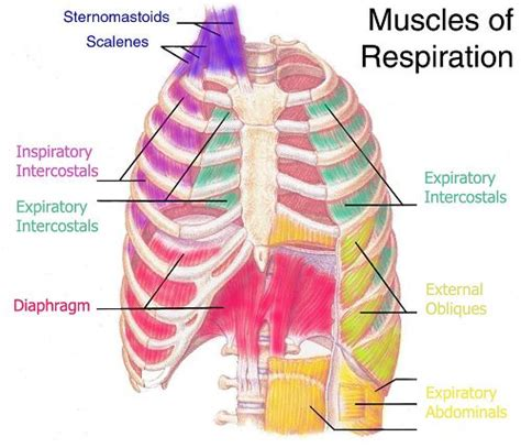 Muscle pain in rib cage picture 7