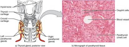 parathyroid gland picture 2