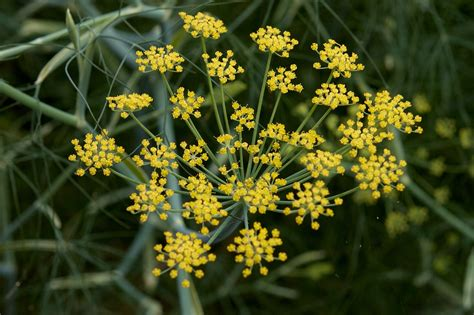 fennel picture 1