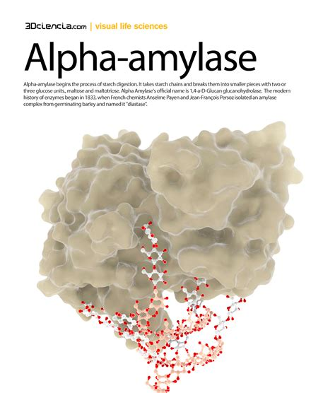 alpha amylase amylose digestion picture 2