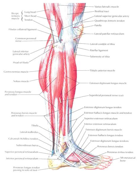 lateral lower leg muscle picture 2