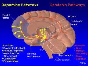 natural dopamine releasers picture 3