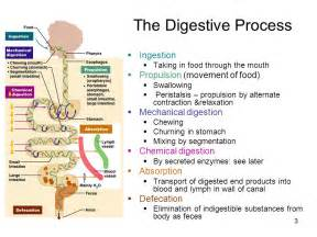 human digestion process picture 14