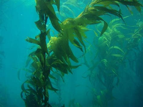 Pacific Kelp picture 1
