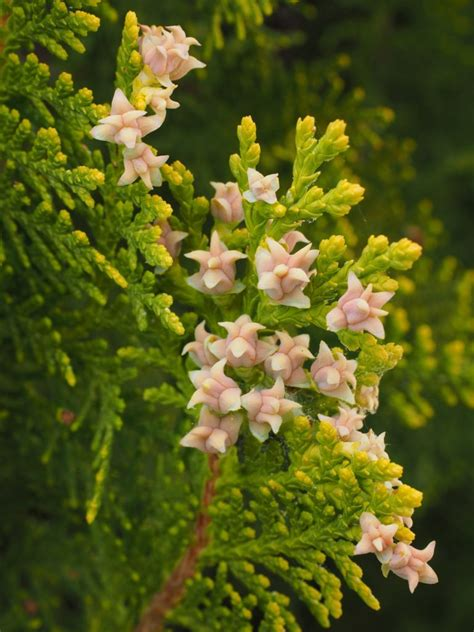 thuja and genital warts picture 2