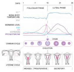 progesterone suppressed periods picture 3