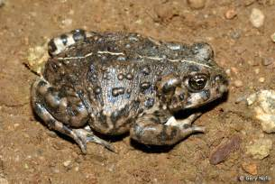 toadsthat deliver babies through skin on back picture 4