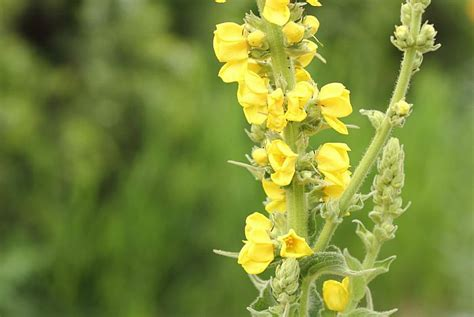 mullein oil remedy picture 17