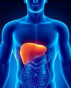 your liver the largest organ picture 2