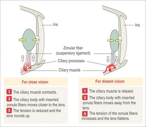 ciliary muscle function picture 9