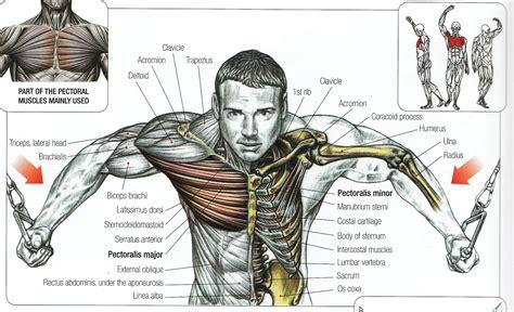 anatomy - muscle man kikkerland picture 3