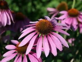 echinacea purpurea picture 5