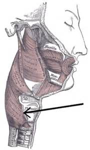 cricopharyngeal muscle picture 1