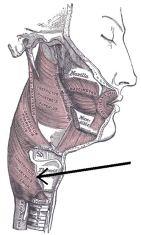 cricopharyngeal muscle picture 3