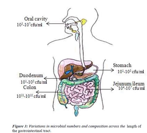 mammalian gastrointestinal tract picture 2