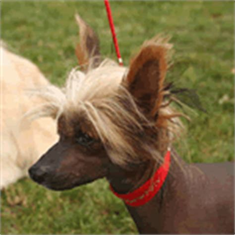 chinese crested dog skin disease picture 18
