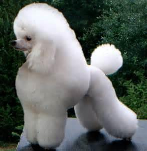 poodles h picture 9