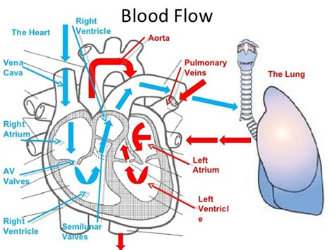 circulation of blood flowchart picture 15