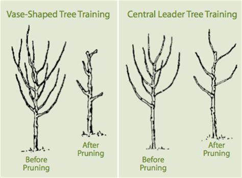 pruning smoke tree picture 6