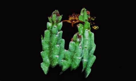 caralluma fimbriata plant growers picture 9